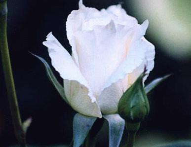 Leben heisst lieben und lieben heisst etwas riskieren die rose